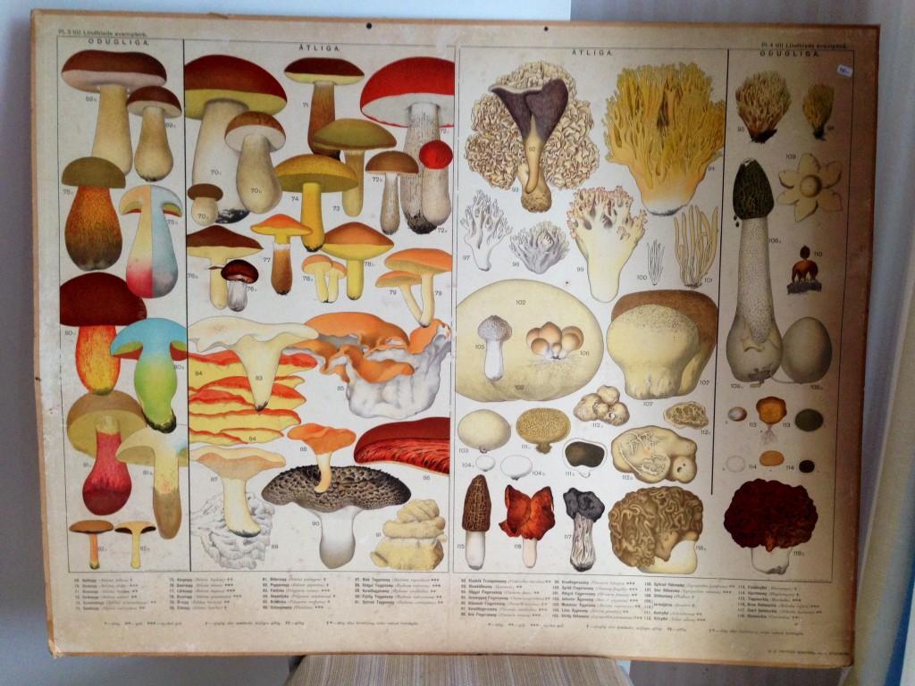 Pappa köpte en svamp tavla till Vava som vi tittade på med hon. Det stod dem som var ätliga eller inte. Vava och pappa har plockat mycket svampar i Vavas torp.